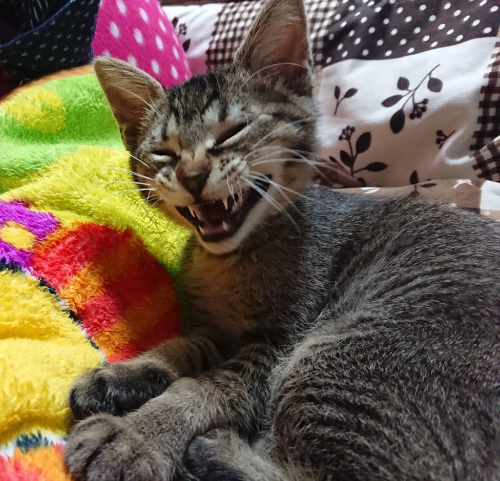 猫のあくびの意味とは?多い原因やくさい理由を探る
